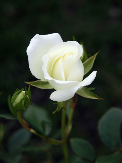 White Rose Tree. I have two on either side of front window. Pretty.
