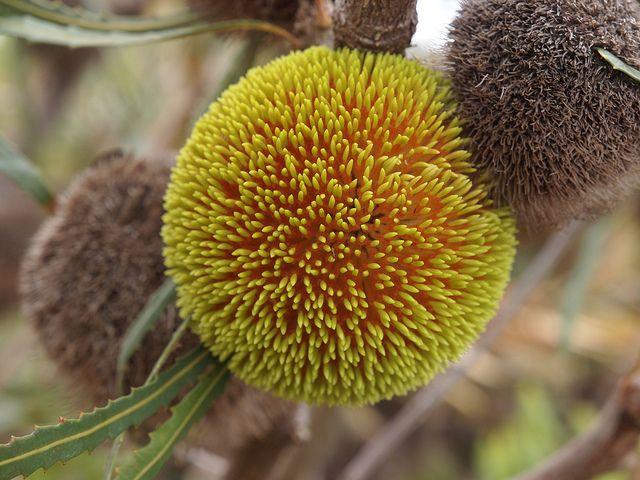 Banksia burdettii by plant.nerd, via Flickr