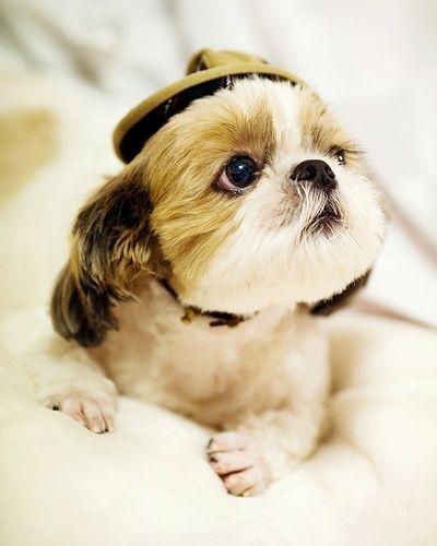 Shih Tzu in a hat