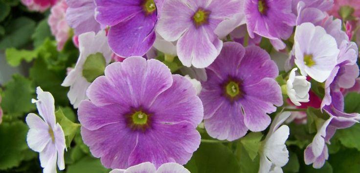 Plantas anuales de flores espectaculares -