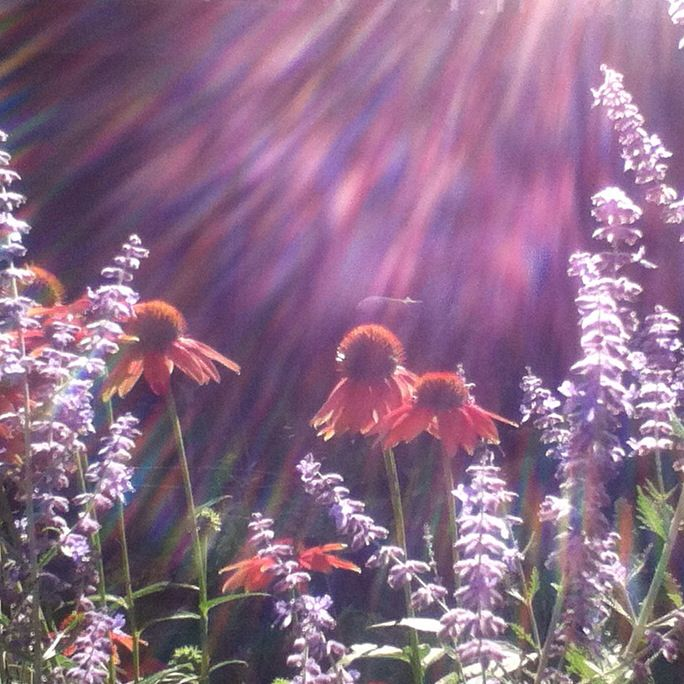Echinacea and Russian sage and sunbeams:)