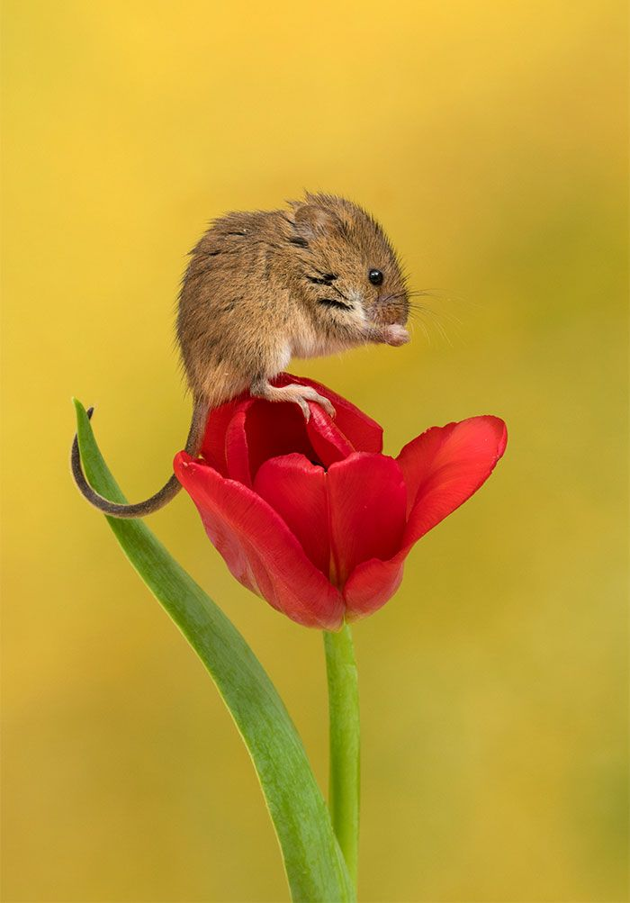 8cbb4f9289b Photographer Tiptoes Through The Tulips To Shoot Harvest Mice, And The  Result Will Make Your Day