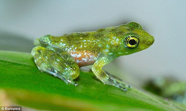 Rare species of Borneo jungle frog wave to each other ...