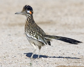 Greater Roadrunner - not in our backyard but on nearby country roads.  We call it a Texas roadrunner.