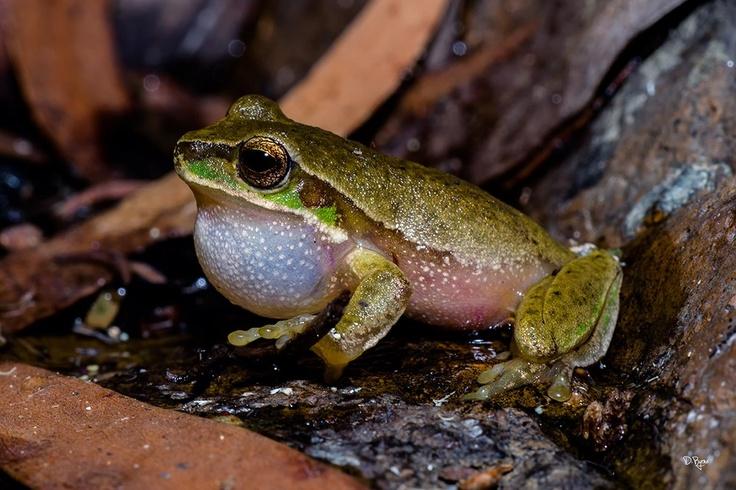 Male Cascade Tree Frog. drecart