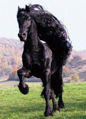 Fríský kůň