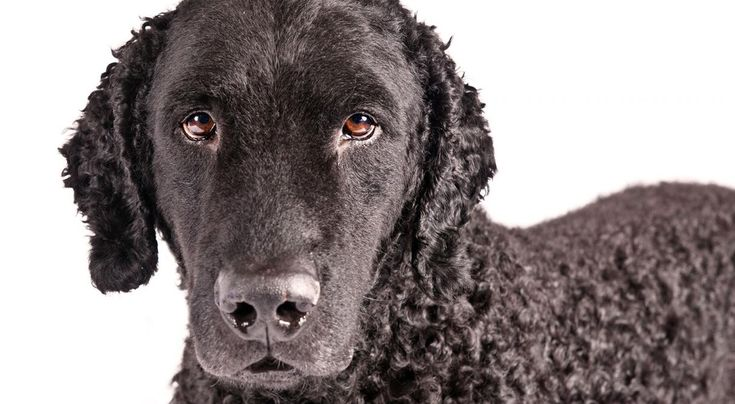 Right breed for you? Curly-Coated Retriever information including personality, history, grooming, pictures, videos, how to find a Curly-Coated Retriever and AKC standard.