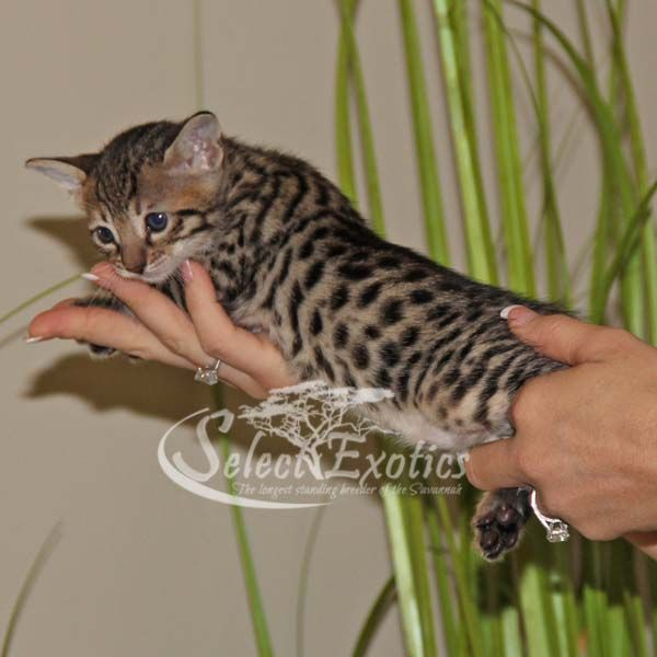 F4 Savannah Kittens For Sale - Select Exotics