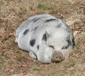 Adopting and caring for a domesticated pot-belly pig!