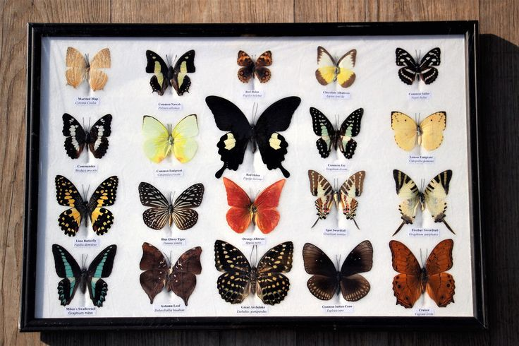 Butterflies mix papillon vlinders in glas vitrine butterfly taxidermy   nr.7