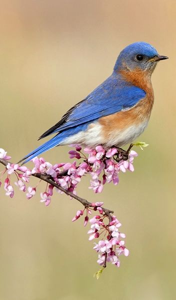 Eastern Bluebird. What a majestic, petite thing! I know absolutely nothing about birds but this one seems like the most beautiful one ever!                                                                                                                                                      More
