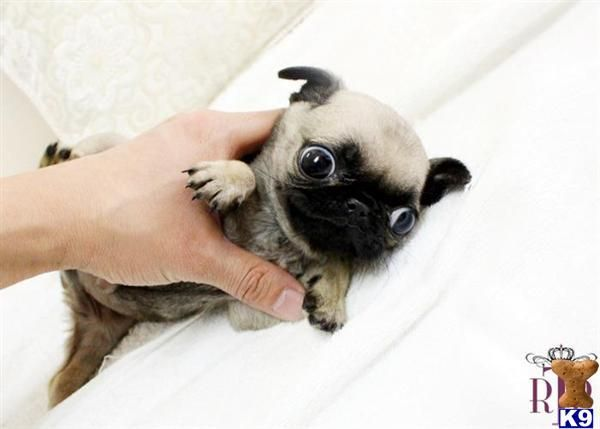 Teacup pug puppy, with some googly eyes!