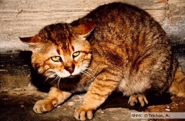 Cretan wildcat | Cretan Wildcat, Felis silvestris cretensis