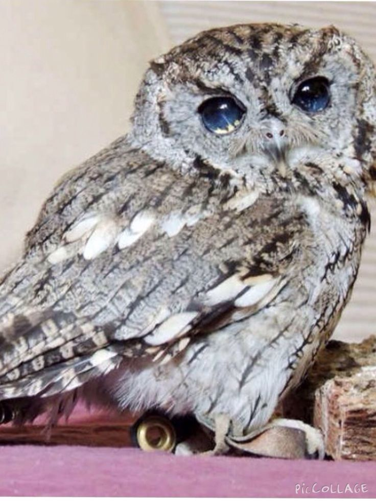 Blind screech owl, so pretty