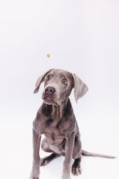 Sam  #schnapschuss #labrador #pfotentick #hundefotografie #fotostudio #hundeblog #hund #dog #photography