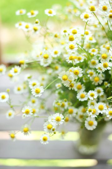 Chamomile is easy to grow...in fact can become invasive...Fresh chamoille tea is calming and divine!