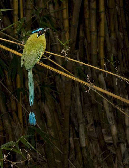 Barranquillo, ave emblema de Manizales