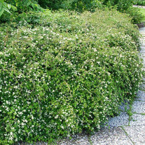seppelvarpu. Jyrkkään rinteeseen peittokasviksi ja pitämään eroosio ja rikkakasvit kurissa.