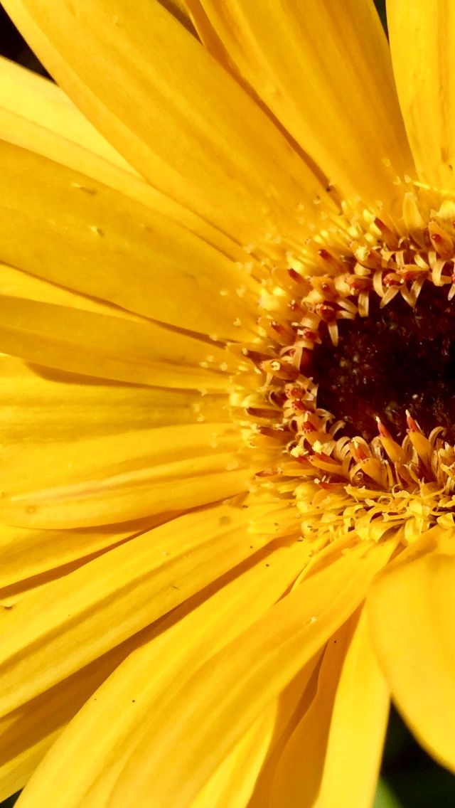 Fiori Gialli Immagini.Giallo Margherita Gialla Margherite Fiori Gialli Fiore Giallo