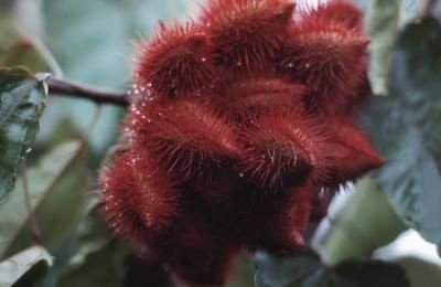 ... east annatto tree annatto seeds veggie garden growing trees forward