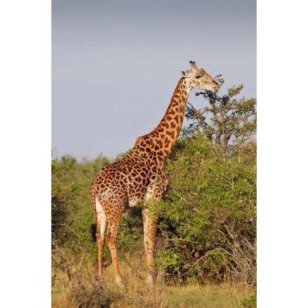 Giraffe Giraffa camelopardalis Maasai Mara wildlife Reserve Kenya Canvas Art - Jagdeep Rajput DanitaDelimont (12 x 17)