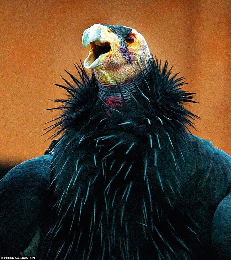 The rather dramatic looking California Condor was on the brink of extinction by the 1980s. But thanks to a concerted conservation effort, the first wild condor chick for over two decades was born in 2002.The California condor is the largest bird in America, having a massive wingspan of nearly 3metres