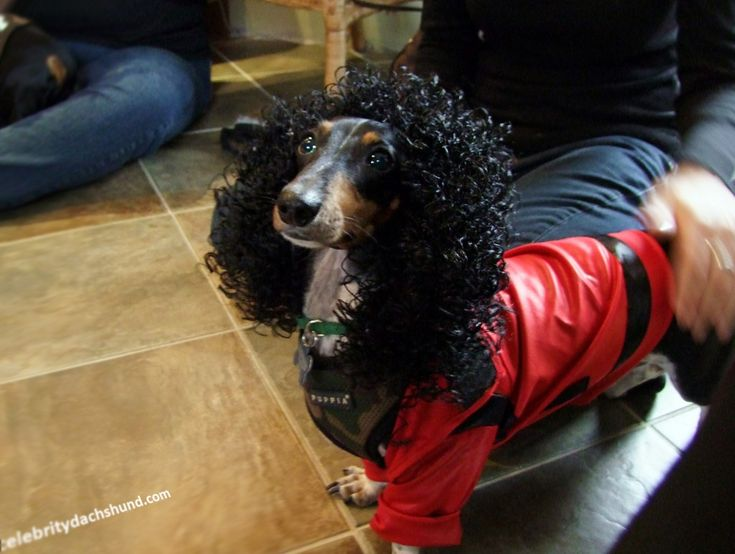 I laughed so hard when I saw this - it's a michael jackson wiener dog! Great Halloween costume