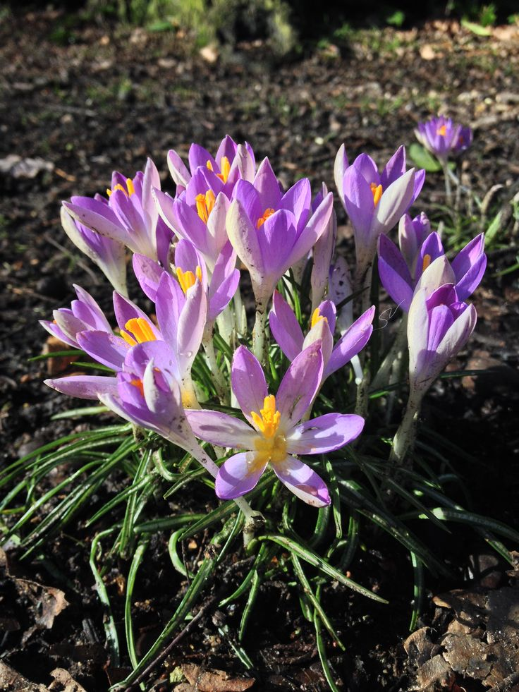 Seven in the worst weather, beauty will show her face! #crocus