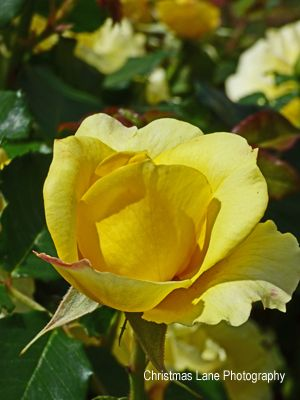 Yellow Rose Christmas Lane Photography