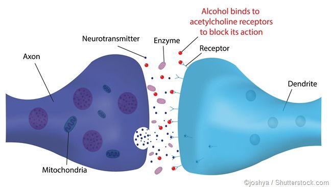 Alkohol Synapsen