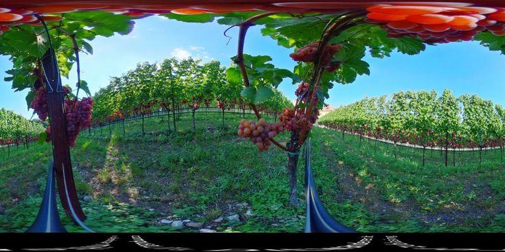 Gewürztraminer Traube - 360° Foto