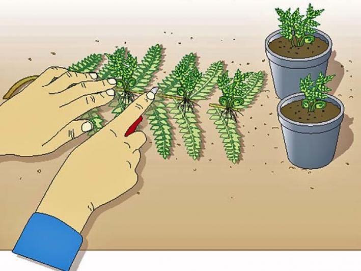 Farne selbst vermehren - so klappt's!