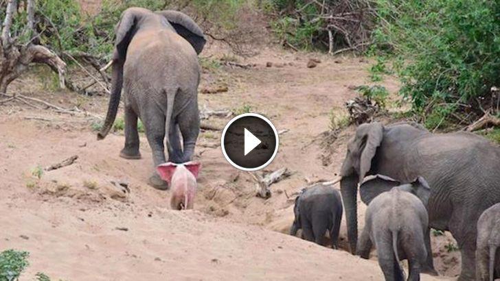 Entzückender seltener Baby-Albino-Elefant beschmutzt im afrikanischen Park der wild lebenden Tiere   – Videos