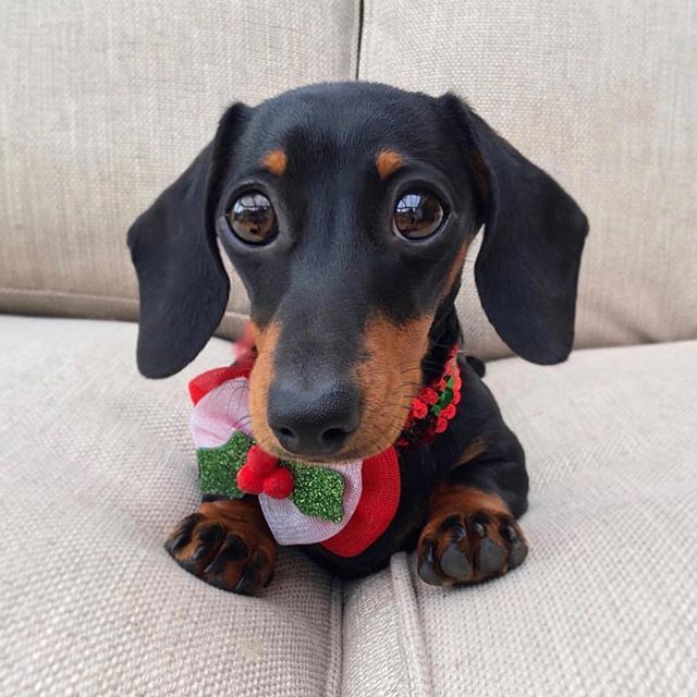 It's beginning to look a lot like Christmas ❤️ Love the pic @martha_dachshund .  Check www.doxiewatches.com - designer watches - The ultimate gift for your Hooman. Use code ILOVEMYDOXIE today for a 10% discount and FREE shipping @ www.doxiewatches.c