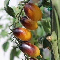 die besten 25 tomatensamen alte sorten ideen auf pinterest tipps f r organischen gartenbau. Black Bedroom Furniture Sets. Home Design Ideas