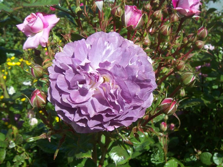 New purple rose seedling bred by Mike Athy