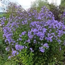 Campanula lactiflora 'Prichard's Variety' - along from Ceanothus corner