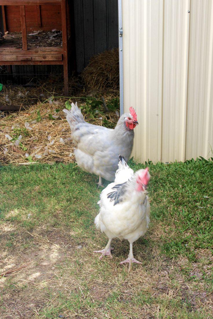 64 best chicken coops u0026 aviaries images on pinterest backyard