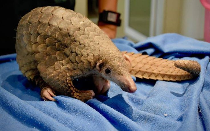 The Wildlife Rescue Team at Wildlife Friends Foundation Thailand recently rescued a young male Sunda pangolin found in Phetchaburi province in central Thailand.