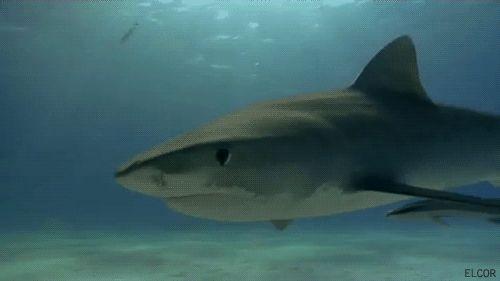 shark gif | sharks shark gif