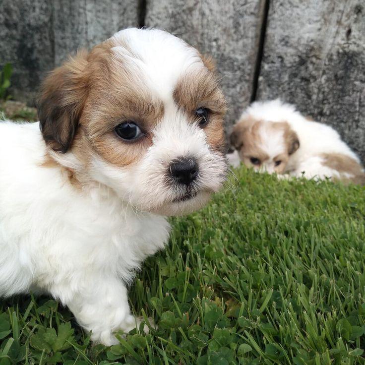 Shih tzu bichon puppies iowa