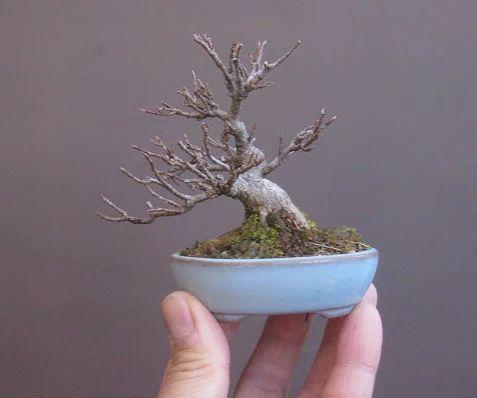 Japanese Mini Bonsai, A Trident Maple (Acer Buergerianum) By Haruyosi.