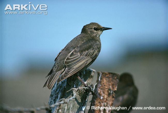European starling photo - Sturnus vulgaris - A9181 | ARKive