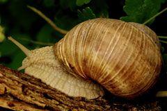 Kunnen slakken ruiken? - Willem Wever - NCRV Jazeker! Een slak kan zelfs heel goed ruiken. Ook al heeft een slak geen neus. Een slak ademt door zijn hele huid, maar ruikt via een soort gat halverwege zijn lichaam.