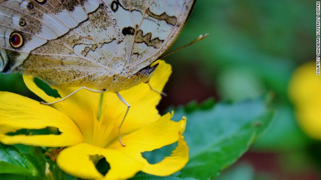 (CNN) -- Farmers in Tanzania are helping to conserve threatened forests by cultivating an unlikely crop: butterflies.  The Amani Butterly Project is one of the schemes using butterfly farming to help locals supplement their incomes and protect the environment at the same time.