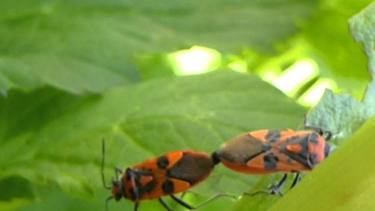 Black and Orange Shieldbugs Mating pds