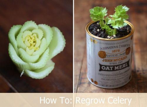 This looks interesting to try - Celery: Green Thumb, Idea, Celery Indoors, Gardening, Scrap, Buy Celery, Regrow Celery