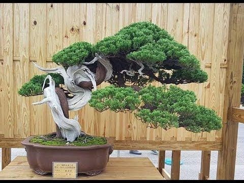 Fascination  bonsai  trees ,  garden  and  tea  ceremony  2018