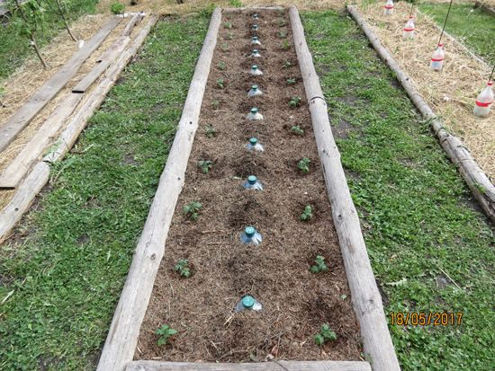 Высадка рассады перцев и помидоров в открытый грунт   Дача 21 Века!