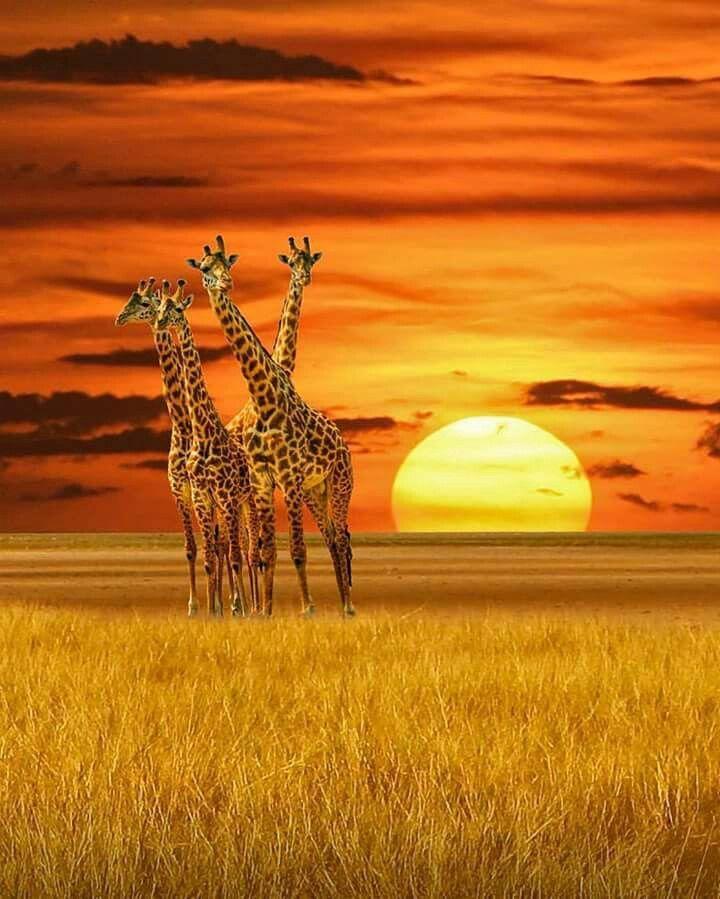 A tower of Giraffes  Photo by ©Victor Caroli